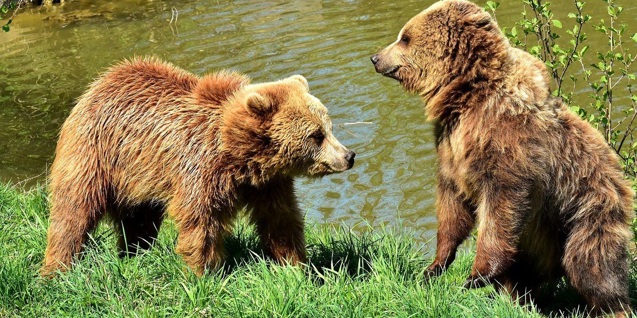 De l'ós del Pirineu i dels altres animals