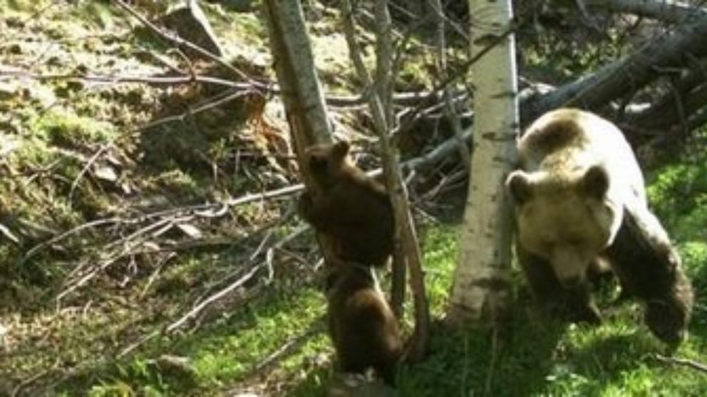 De l'ós del Pirineu i del programa Life