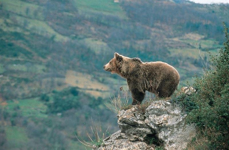 Més sobre l'ós del Pirineu