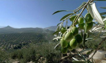 L'olivera gallega