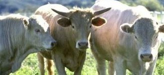Vaques boges
